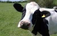 Plaintiff: 'Reasonable consumers believe that if a cow consumes GMO feed and then produces milk, the milk is not All Natural...'