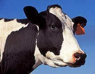 Organic dairy more economically beneficial than normal dairy – study