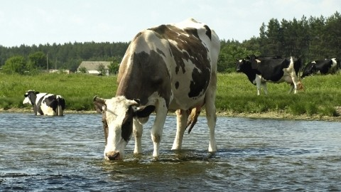 Study Says Iron In Cows Drinking Water Affects Milk