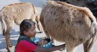 Milk it: Donkeys are a rich source of probiotics, says Eurolactis