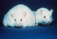 Sweeteners linked to higher weight gain: Rat study